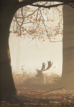 A fallow deer stag (Dama dama) rests in a misty and foggy Richmond Park one winter sunrise, Richmond, Greater London, England, United Kingdom, Europe