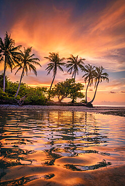 Sunset behind a row of coconut palms as the colorful sunset reflects in the waters of the ocean lagoon.