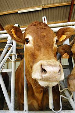 Limousin cow.