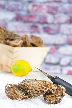 Oysters.