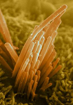 Ear Hair from Mouse ES Cells, SEM