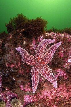 Northern Sea Star