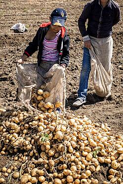 Minors picking the potato harvest, day laborers, child labour, syrian refugees, in Bar Elias, Bekaa Valley, Lebanon
