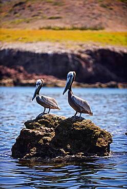 Brown pelicans (Pelecanus occidentalis) in Sea of Cortez, Baja California Sur, Mexico.