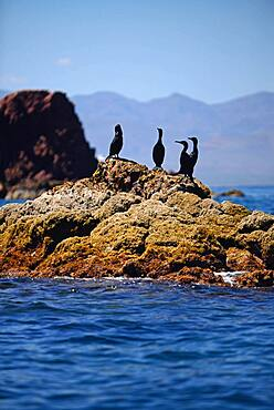 Brandts Cormorants (Phalacrocorax penicillatus) standing on coastal rocks, Baja California Sur, Mexico