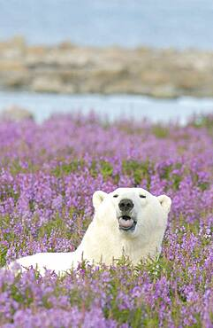 Polar Bear resting on coastal rocky island with tundra fireweed sticking out his tongue.