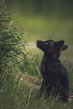 A black colored red fox baby (Vulpus vulpus) licks it's lips for some tall weeds. Yukon Territory, Canada
