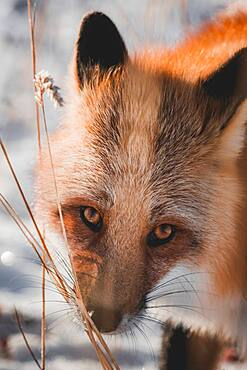 A red fox sniffs on some scentmarks along dead reeds, Yukon Territory