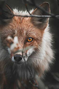 A red fox sneaks through the willows focused on his prey, Yukon Territory