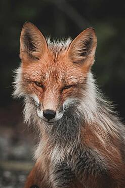 A female red fox looking at the camera, Yukon Territory, Canada