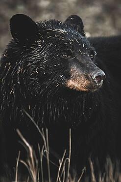 A Black bear (Ursus americanus) roams the dry grass before going into hibernation, Yukon Territory