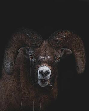 Bighorn Ram (Ovis canadensis) eating dry grass, Yukon Territory