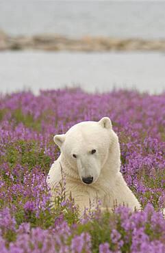 Polar Bear (ursus maritimus) relaxing in Fireweed (Epilobium angustifolium) on sub-arctic flower covered island at Hubbart Point, Hudson Bay, near Churchill, Manitoba, Northern Canada..