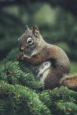 A red squirrel (Tamiasciurus hudsonicus) eats the fresh tips of a pine tree. Yukon Territory, Canada