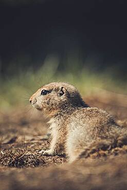 An Arctic Ground Squirrel Baby (Uroticellus parryii) enjoys the warming sun. Yukon Territory, Canada
