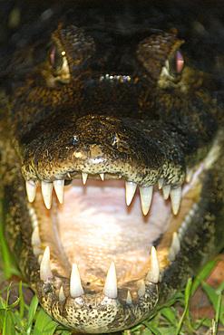 Caiman or jacare, Caiman crocodilus yacare, at night, southern Pantanal, Mato Grosso do Sul, Brazil