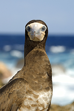 Brown booby, Sula leucogaster, St. Peter and St. Paul's rocks, Brazil, Atlantic Ocean