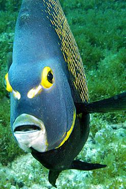 French angelfish, Pomacanthus paru, Ilha rata, Fernando de Noronha national marine sanctuary, Pernambuco, Brazil (S. Atlantic)