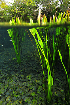 Split image of the lush vegetation above and bellow water, Sucuri river, Bonito, Mato Grosso do Sul, Brazil