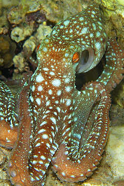 Starry night octopus, Octopus luteus, foraging on coral reef at night, Malapascua, Cebu, Philippines, Visayan Sea.