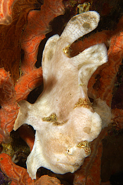 Painted frogfish, Antennarius pictus, white phase, Sabang wreck, Puerto Galera, Mindoro, Philippines.