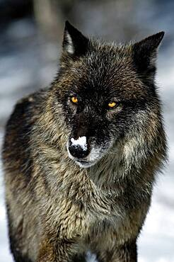 Black phase Gray Wolf (Canis lupus) Grey Wolf Portrait in fresh snow, Montana, USA.