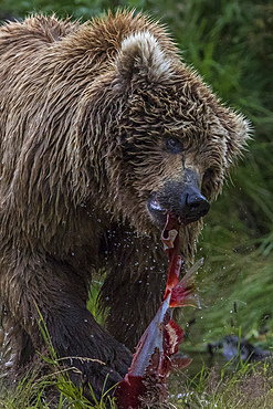 Adult brown bear eats fished salmon in Katmai, Alaska
