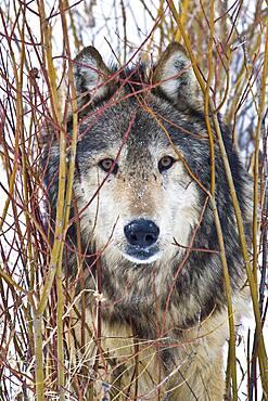 Male Gray Wolf stare (Canis lupus) Grey Wolf Portrait peeking out from red osier dogwood (Cornus sericea), Montana, USA.