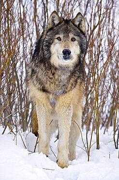 Male Gray Wolf stare (Canis lupus) Grey Wolf Portrait in fresh falling snow, Montana, USA.