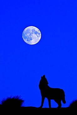 Digital composite of Gray Wolf (Canis lupus) silhouette Grey Wolf howling at the full moon in Monument Valley, Arizona, USA.