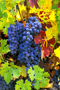Cabernet Sauvignon grapes on vine; Valley View Winery, Applegate Valley, Oregon.