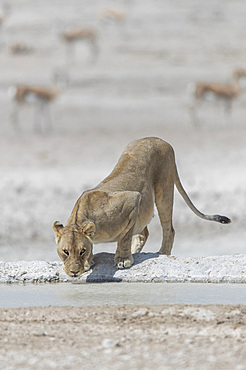 A lioness (panthera leo) drinking in a waterhole at Etosha national park, Namibia.