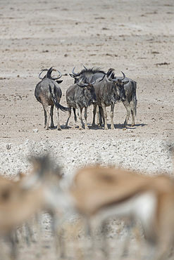 Wildebeests (connochaetes taurinussome) with impalas in the foreground in Etosha, Namibia