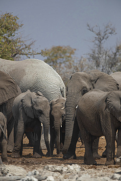 Elephant family (loxodonta africana) in Etosha National Park, Namibia