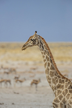 Giraffe (Giraffa camelopardalis) with impalas in the background, Etosha National Park, Namibia