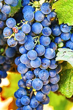 Sprig of grapes in a vineyard. Villamayor de Monjardin. Navarre, Spain, Europe