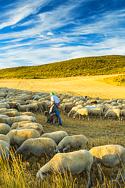 Flock of sheep and shepherd in a cereal land. Tierra Estella county. Navarre, Spain, Europe