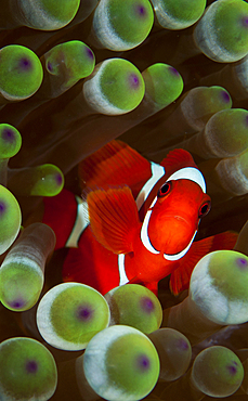 Spinecheek anemone portrait, Premnas biaculeatus, Raja Ampat, West Papua, Indonesia, Pacific Ocean