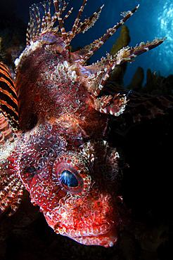 Shortfin lionfish, Dendrochirus brachypterus, Twilight Zone, Laha, Ambon harbour, Banda Sea, Moluccus, Indonesia, Pacific Ocean