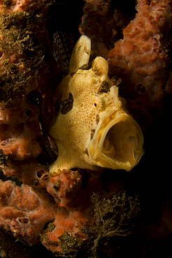 Painted Frogfish, Antennarius pictus, Lembeh Strait, Bitung, Manado, North Sulawesi, Indonesia, Pacific Ocean
