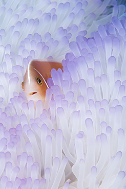 Pink anemonefish, Amphiprion perideraion, in a bleached magnificent anemone, Heteractic magnifica, Raja Ampat, West Papua, Indonesia, Pacific Ocean