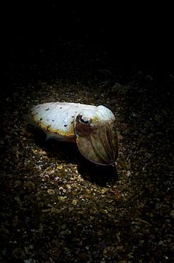 Cuttlefish in the spotlight, Sepia sp., Lembeh Strait, Manado, North Sulawesi, Indonesia, Pacific Ocean