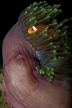 False clown anemonefish, Amphiprion ocellaris, in a magnificent anemone, Heteractis magnifica, Lembeh Strait, Bitung, Manado, North Sulawesi, Indonesia, Pacific Ocean