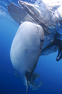 A whaleshark, Rhincodon typus, feeds at the surface under a bagan, a traditional style of fishing boat, Cendrawasih Bay, Papua Province, Indonesia, Pacific Ocean