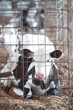 Dairy calf in a pen inside the barn