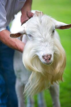 Dairy goat farm breeder and cheese producers