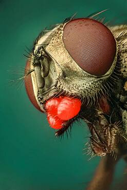 A Musca domestica or house fly showing a severe mite infestion; three mites under the subgenal area and two more between labellum and thorax. Those mites show a bright red colour and finger-print like texture