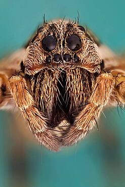 Somo kind of wolf spider, they are robust and agile hunters with good eyesight. They live mostly solitary lives and hunt alone. Some are opportunistic hunters pouncing upon prey as they find it or even chasing it over short distances. Some will wait for passing prey in or near the mouth of a burrow.
