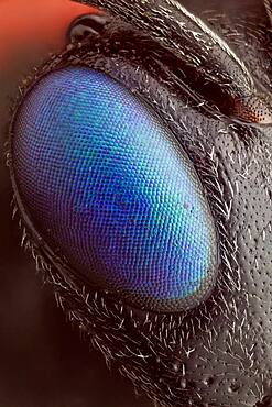 A magnified view of its beautiful eye; a special technique was used to remove the ommatidum reflections, leaving an image with SEM like surface detail