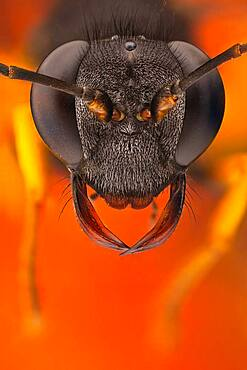 A Mud dauber portrait; its name comes from the nests that are made by the females, which consist of mud molded into place by the wasp's